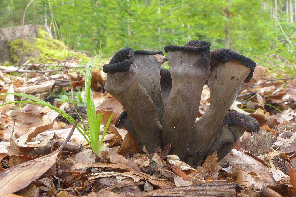 stroček trubkovitý - Craterellus cornucopioides - foto: Petr Souček
