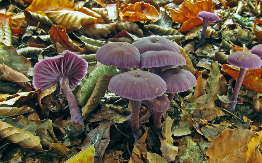 lakovka ametystová – Laccaria amethystina - foto: Petr Hampl