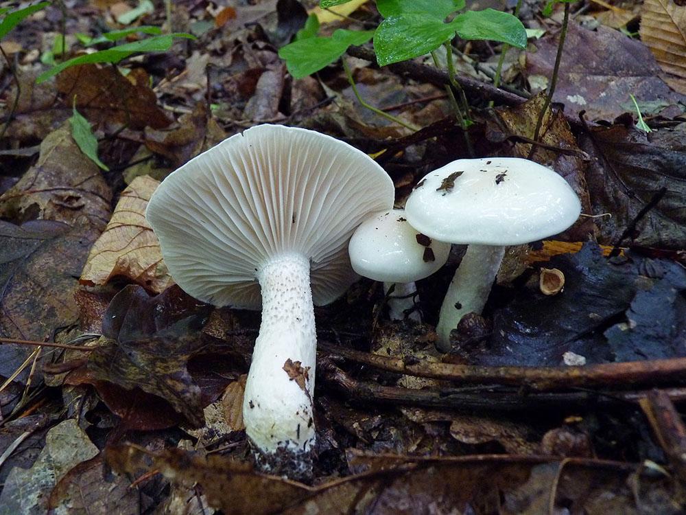 šťavnatka slonovinová - Hygrophorus eburneus - foto: Petr Mikuš