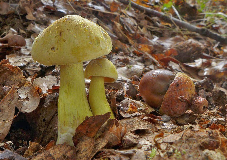 čirůvka sírožlutá - Tricholoma sulphureum - foto: Petr Souček