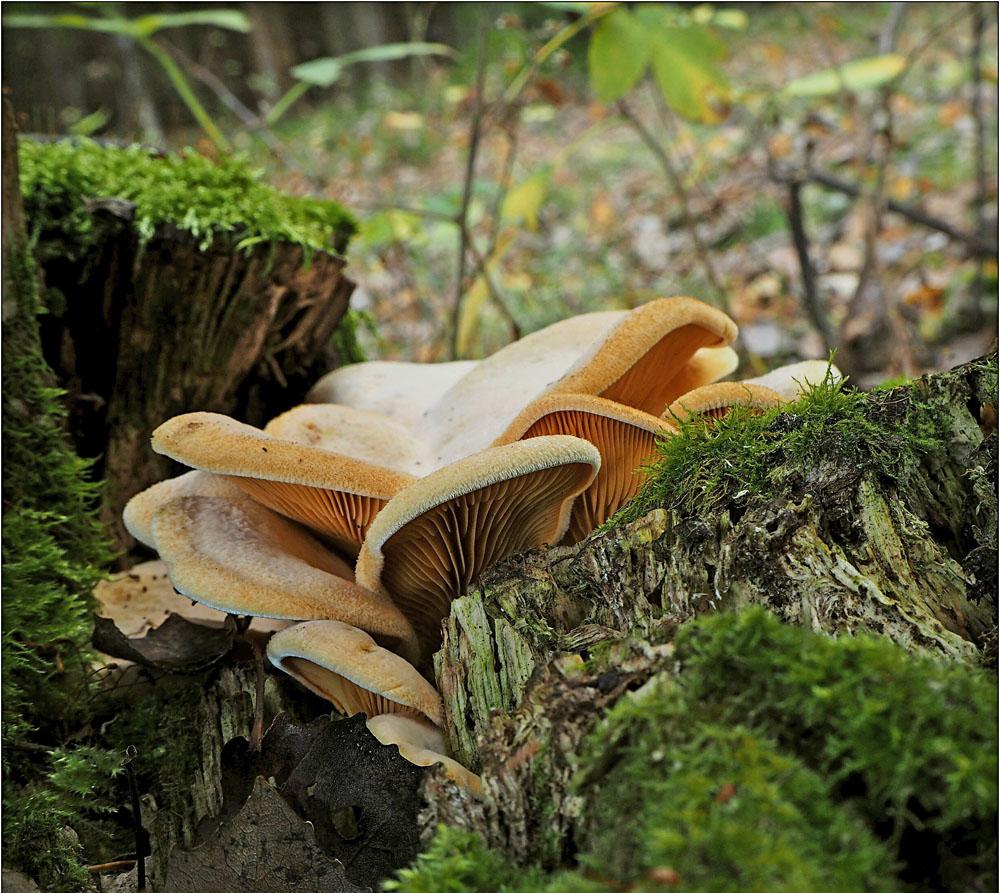 hlíva hnízdovitá – Phyllotopsis nidulans - foto: Věra Hyráková