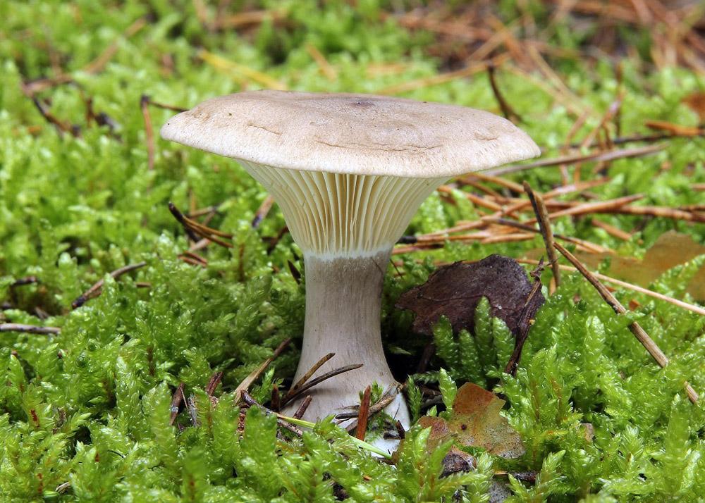 strmělka kyjonohá – Ampulloclitocybe clavipes - foto: Ladislav Špeta