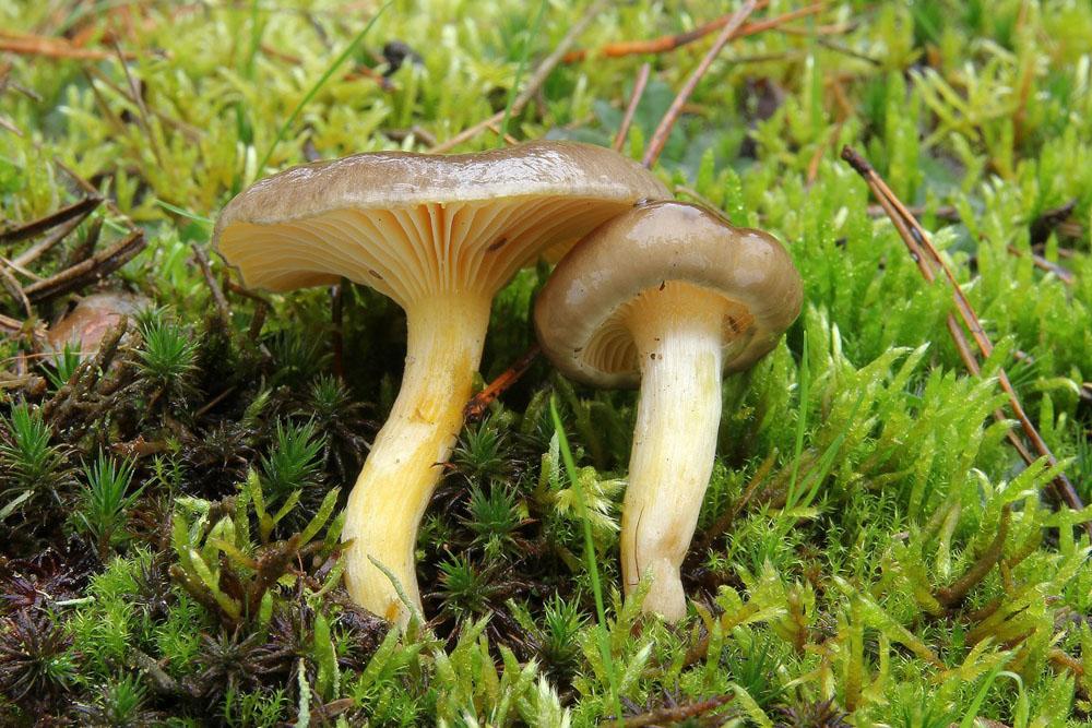 šťavnatka pomrazka – Hygrophorus hypothejus - foto: Ladislav Špeta