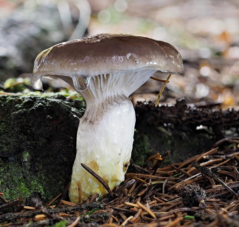slizák mazlavý – Gomphidius glutinosus - foto: Martin Petrák