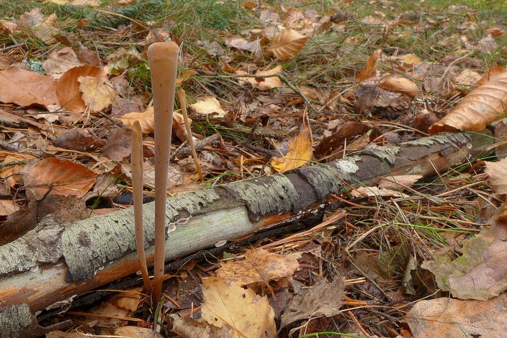 kyj rourkovitý – Macrotyphula fistulosa - foto: Petr Souček
