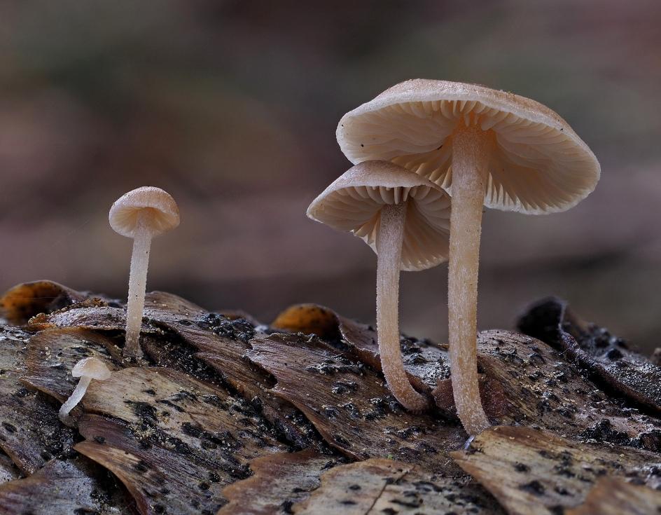 penízečka drobnovýtrusá – Baeospora myosura - foto: Martin Petrák