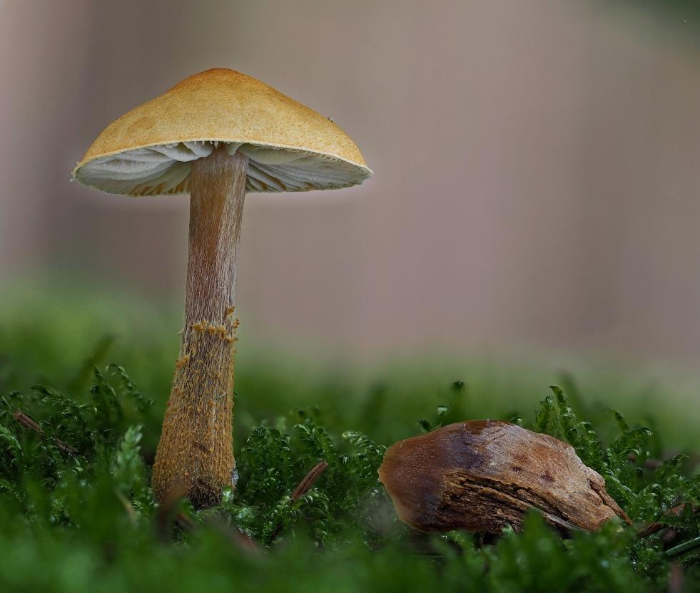 zrnivka osinková – Cystoderma amianthinum - foto: Martin Petrák