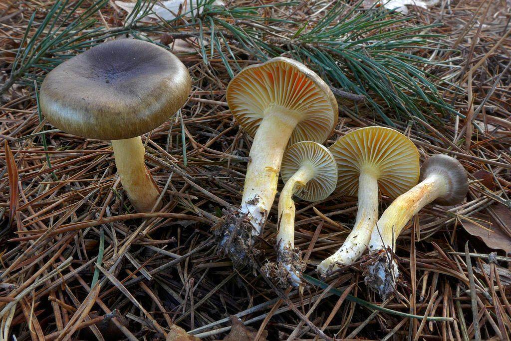 šťavnatka pomrazka – Hygrophorus hypothejus - foto: Petr Souček