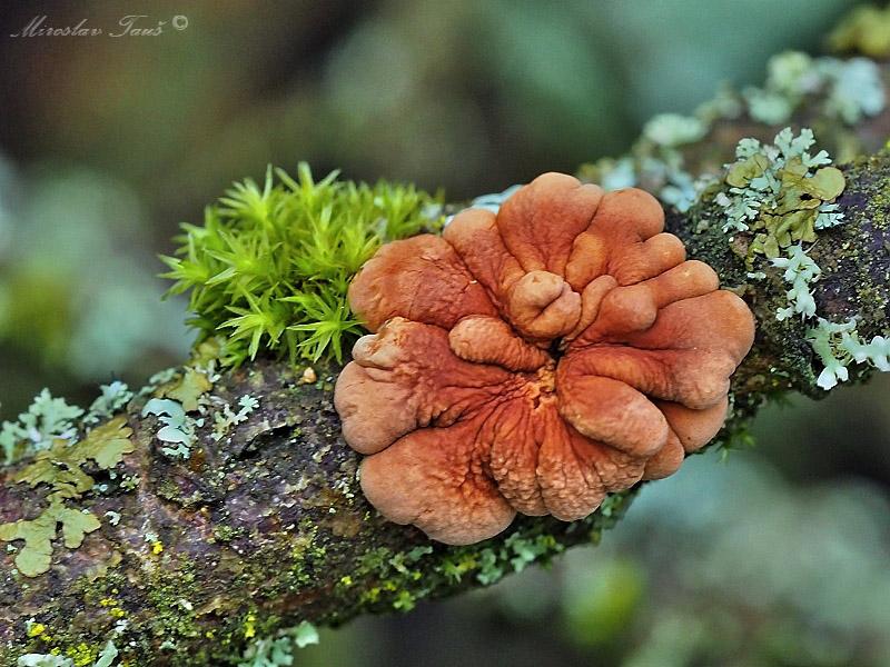 masenka lišejníková – Hypocreopsis lichenoides - foto: Miroslav Tauš
