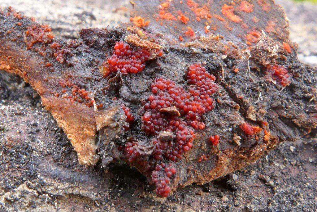 rážovka rumělková – Nectria cinnabarina - foto: petr Souček