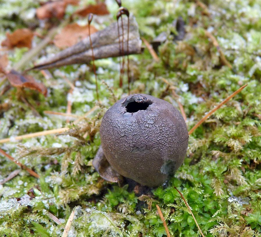 urnička pohárová – Urnula craterium - foto: Petr Mikuš