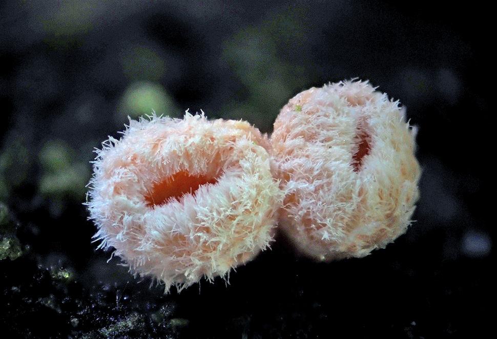 brvenka Hahnova – Lachnellula occidentalis - foto: Martin Petrák