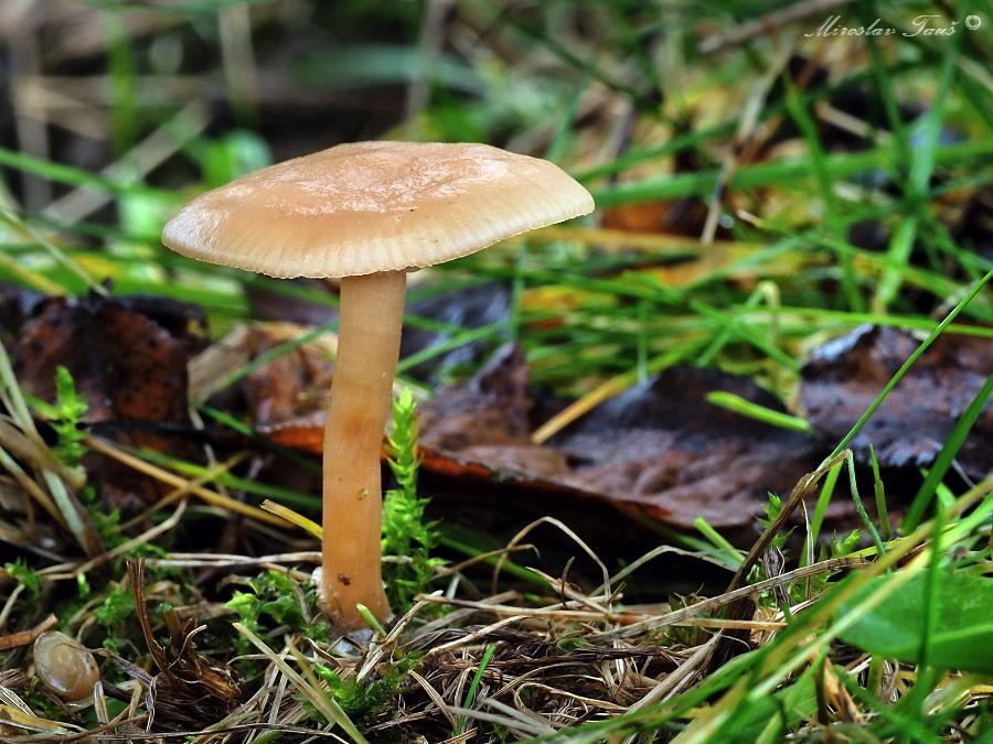 strmělka vonná – Clitocybe fragrans - foto: Miroslav Tauš
