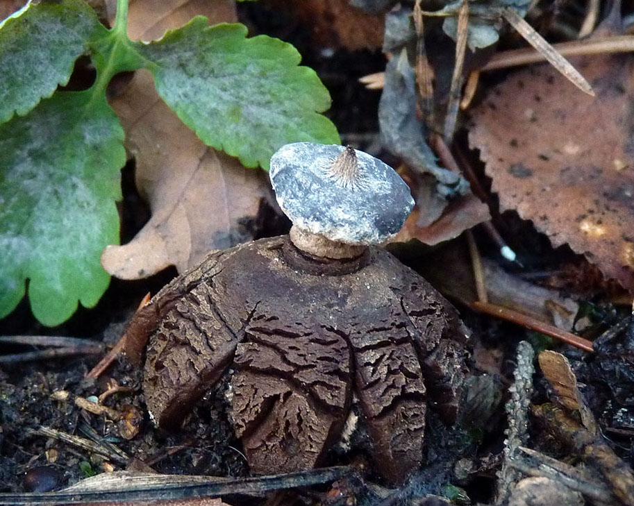hvězdovka límečková – Geastrum striatum - foto: Petr Mikuš