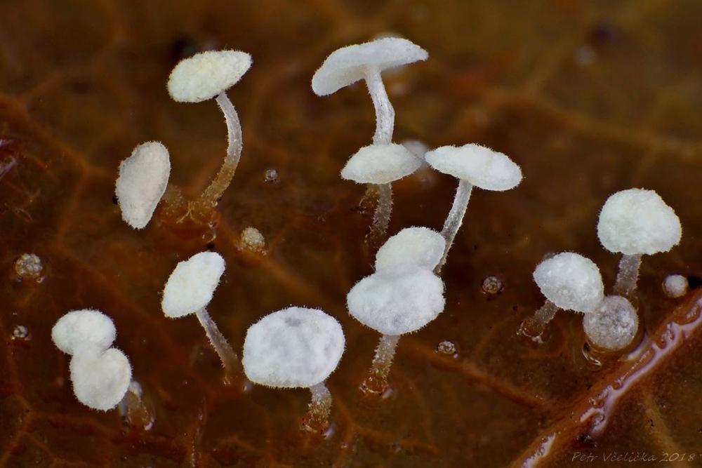špička břečťanová – Marasmius epiphylloides - foto: Petr Včelička