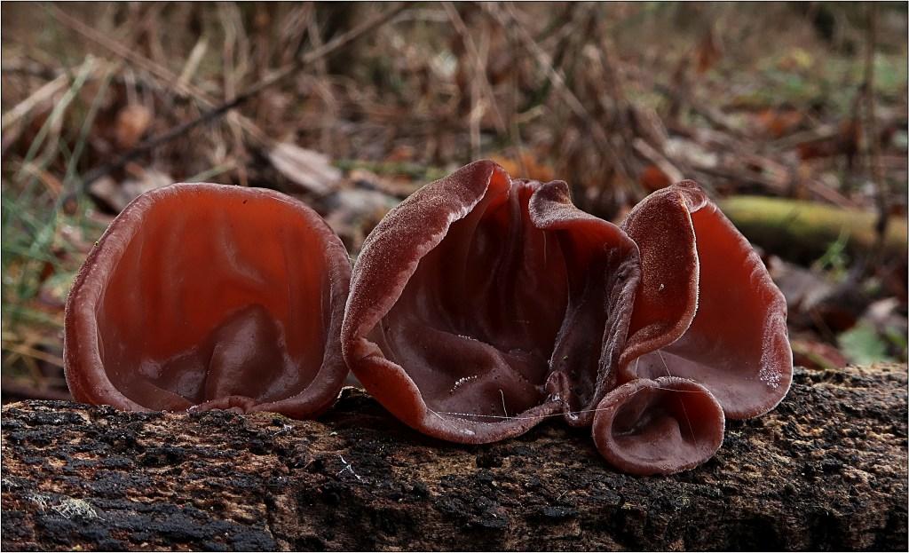 ucho Jidášovo – Auricularia auricula-judae - foto: Věra Hyráková