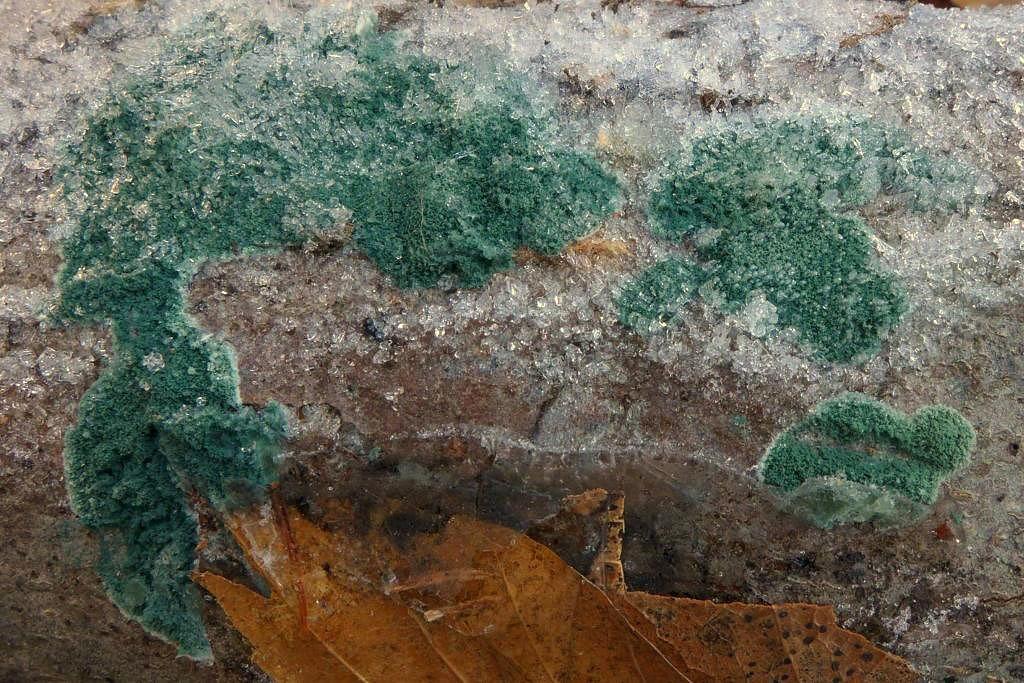 zelenatka obecná – Trichoderma viride - foto: Petr Souček