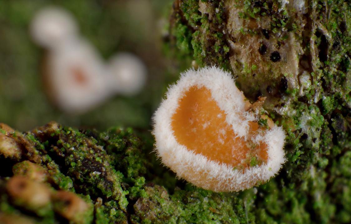 brvenka Hahnova – Lachnellula occidentalis - foto: Petr Včelička