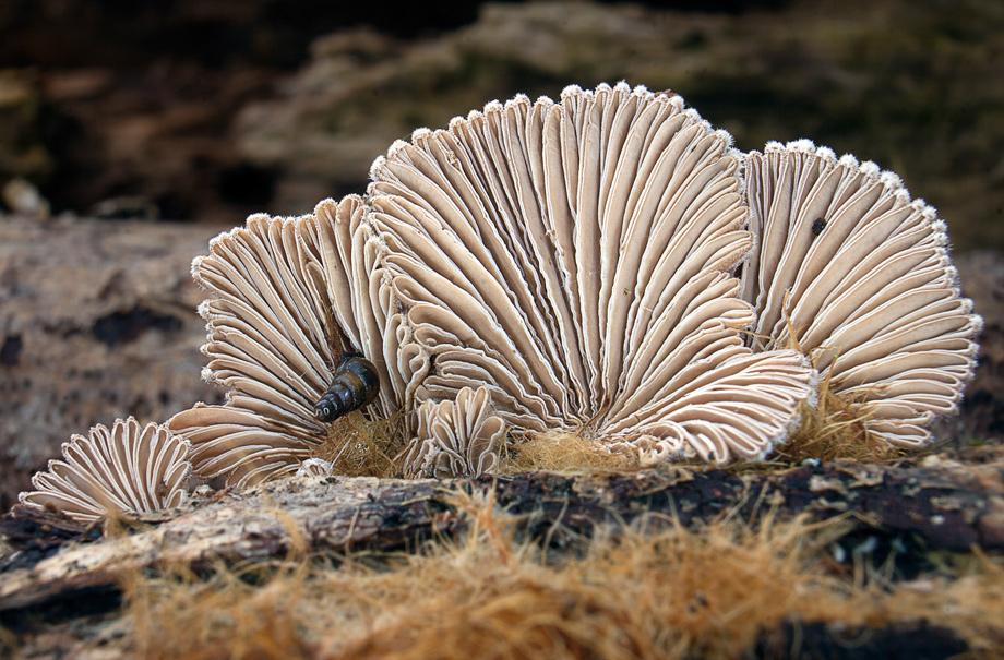klanolístka obecná – Schizophyllum commune - foto: Daniel Kvasnička