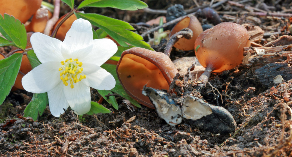 hlízenka sasanková vč. sklerocia – Dumontinia tuberosa - foto: Petr Hampl