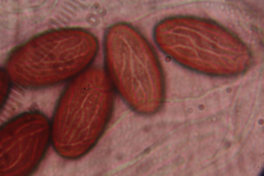 hovník otrubičnatý spory – Ascobolus furfuraceus - foto: Oldřich Jindřich