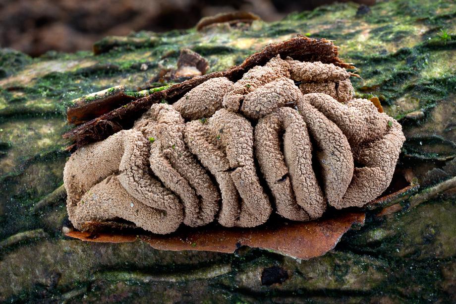 kornice otrubičnatá – Encoelia furfuracea - foto: Daniel Kvasnička