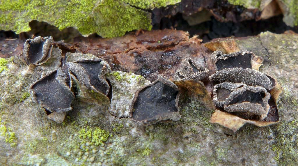 kornice jasanová – Sclerencoelia fraxinicola - foto: Petr Souček
