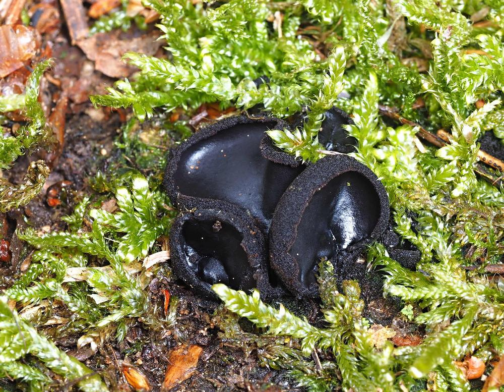 ušíčko černé – Pseudoplectania nigrella - foto: Pavel Petelík