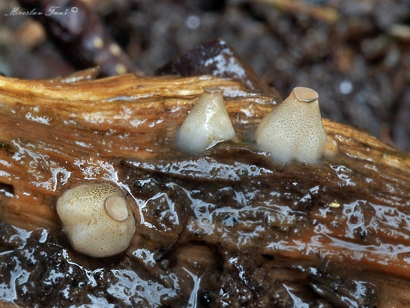 vodnička terčovitá – Cudoniella tenuispora - foto: Miroslav Tauš
