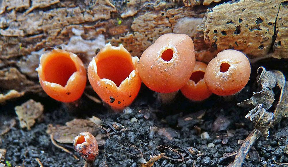 ohnivec zimní – Microstoma protractum - foto: Petr Mikuš