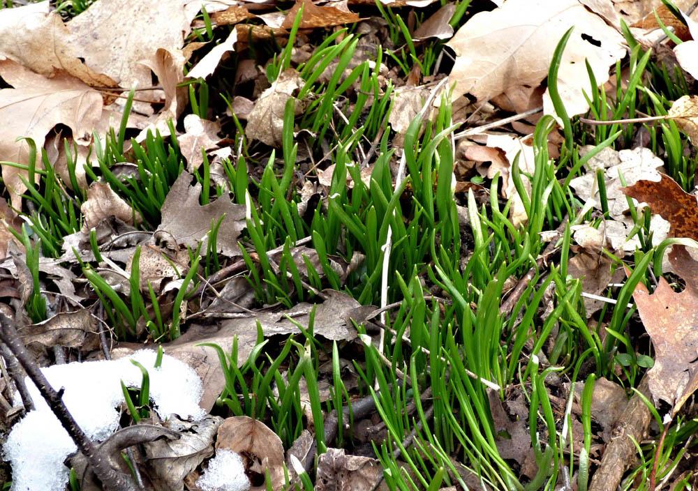česnek podivný – Allium paradoxum - foto: Martin Valent