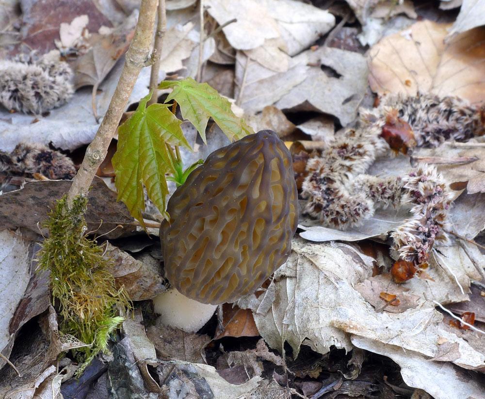 smrž kuželovitý – Morchella conica - foto: Aleš Vít