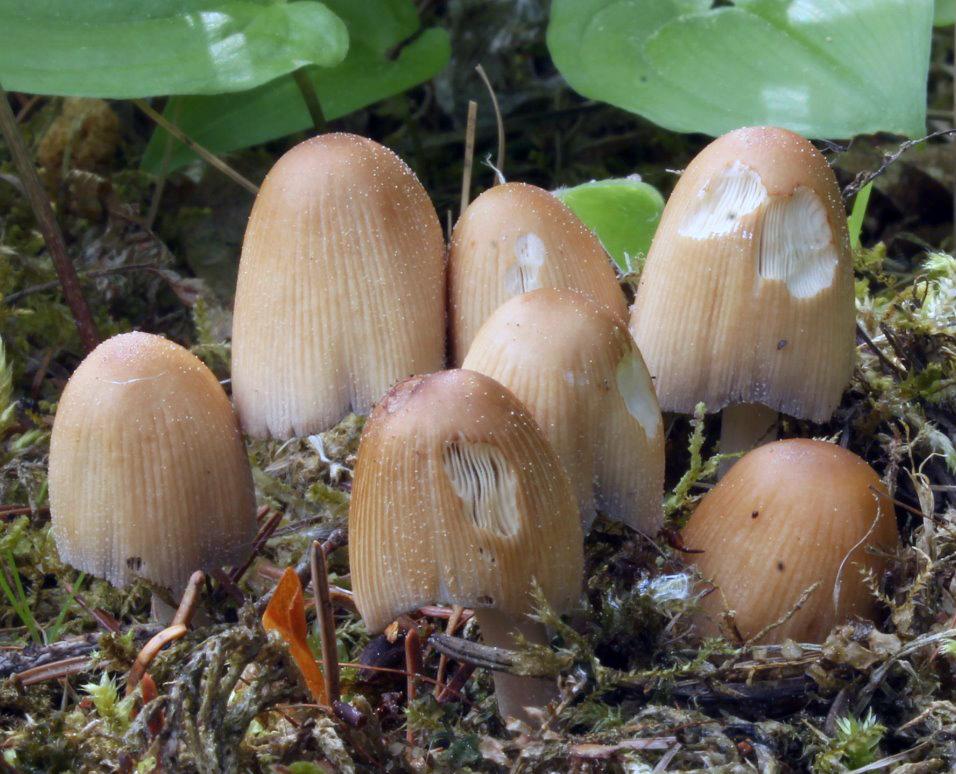 hnojník třpytivý – Coprinellus micaceus - foto: Jana Pravcová