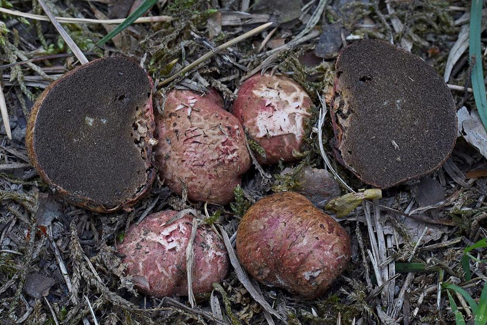 kořenovec načervenalý – Rhizopogon roseolus, Kokořínsko - foto: Petr Včelička
