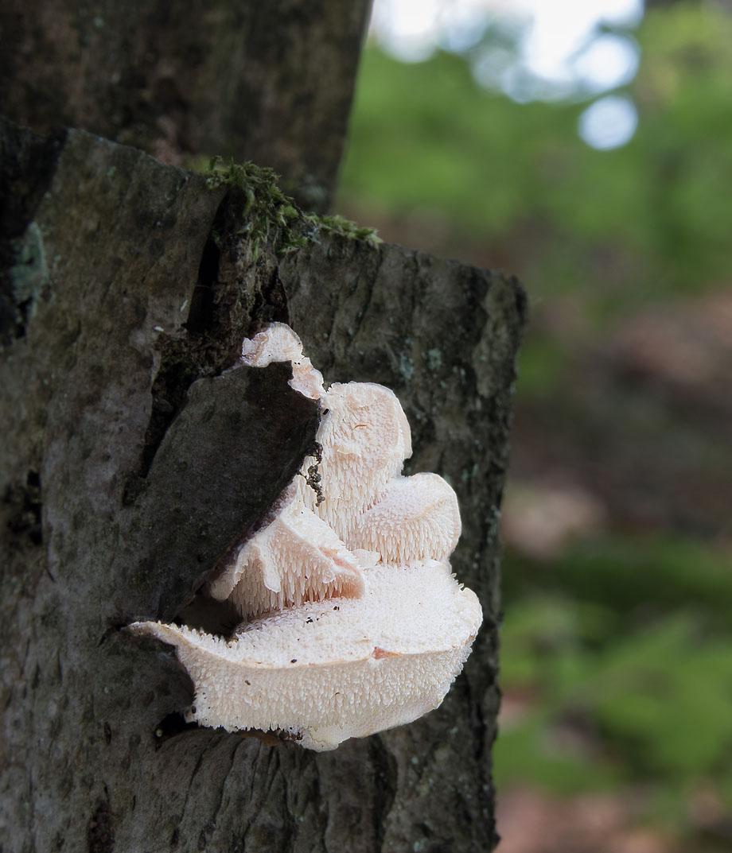 ježatec různozubý – Creolophus cirratus, Chřiby - foto: Milan Němčický