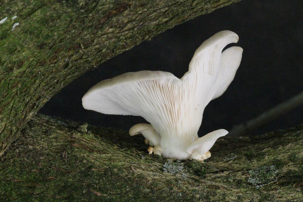 hlíva plicní – Pleurotus pulmonarius, Plzeňsko - foto: Zdeněk Hájek