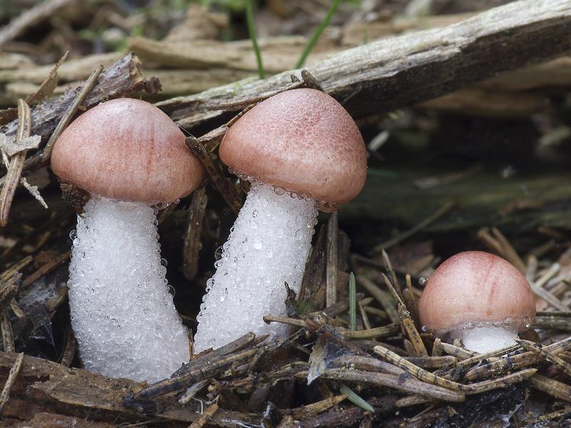 šťavnatka růžová (Hygrophorus persicolor) - autor: Lucie Zibarová
