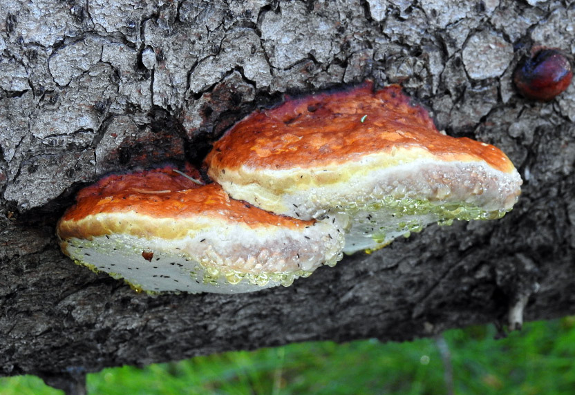 troudnatec okrajový – Fomitopsis pinicola, Mladoboleslavsko - foto: František Šváb