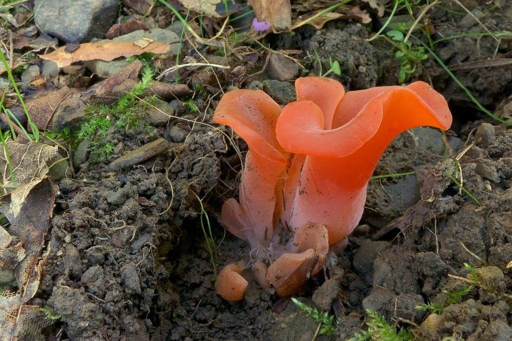 rosolovec červený – Tremiscus helvelloides, Podjavorník - foto: Petr Souček