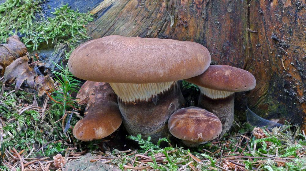 čechratice černohuňatá – Tapinella atrotomentosa, Podruhlí - foto: Aleš Vít