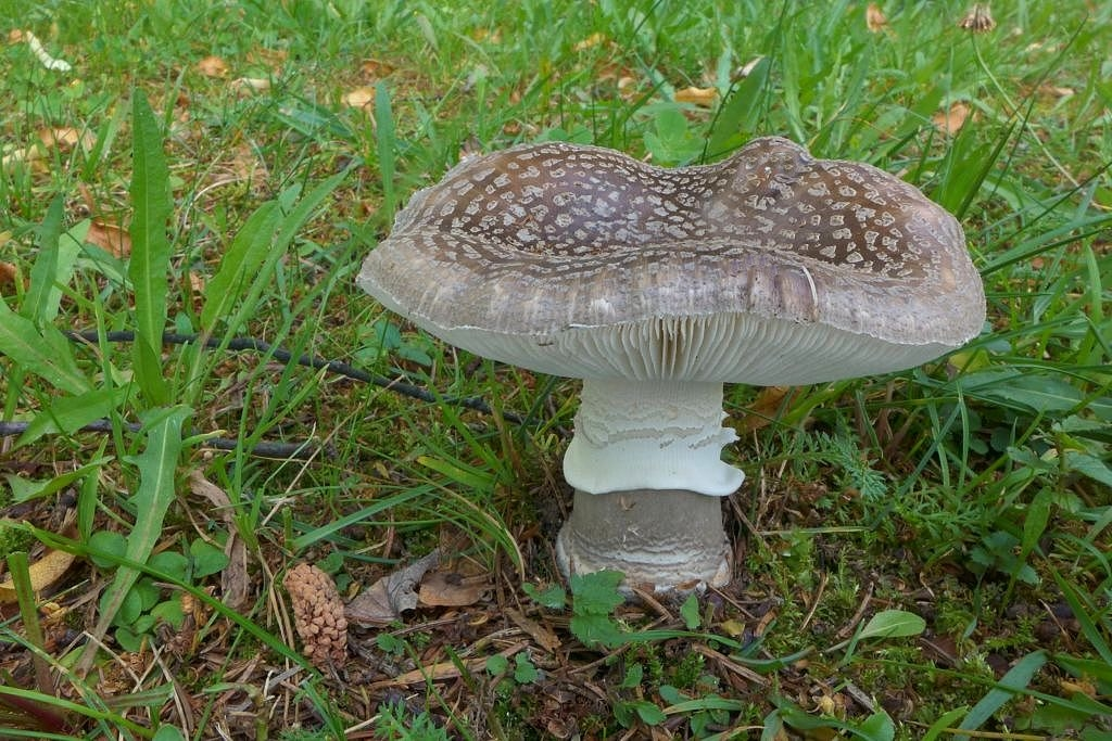 muchomůrka šedivka – Amanita excelsa, Šumava - foto: Petr Souček