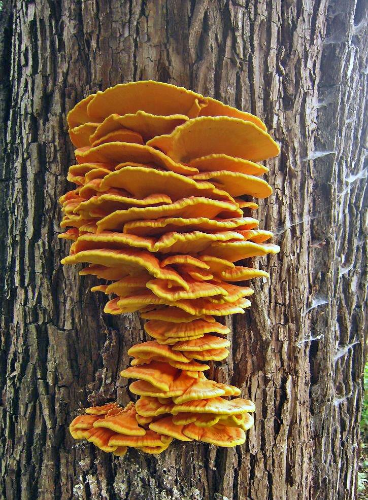 sírovec žlutooranžový - Laetiporus sulphureus, Velké Hamry - foto: Petr Hampl