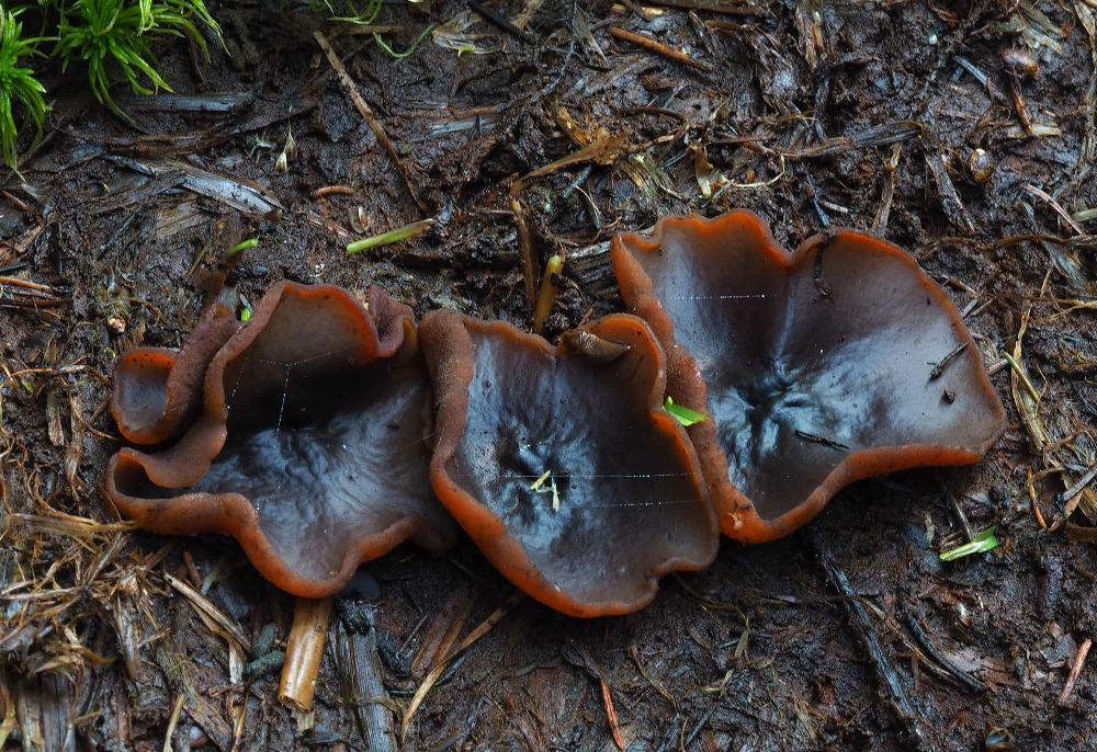 řasnatka hnědá – Peziza badia, Podorlicko - foto: Pavel Petelík
