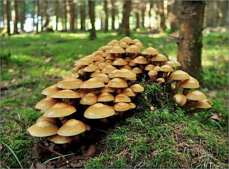 opeňka měnlivá – Kuehneromyces mutabilis, Českokrumlovsko - foto: Věra Hyráková