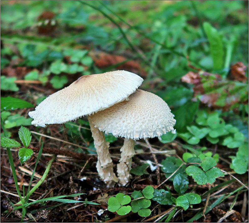 bedla vlnatá – Lepiota clypeolaria, Českokrumlovsko - foto: Věra Hyráková