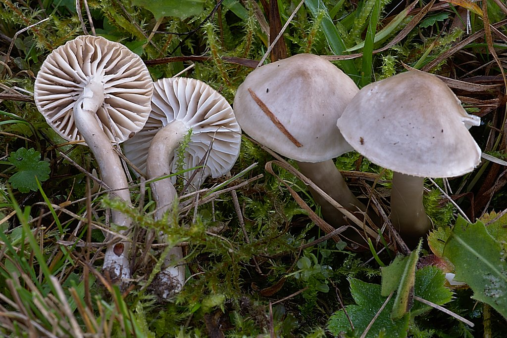 voskovka kluzká - Hygrocybe irrigata - foto: Martin Slavičínský