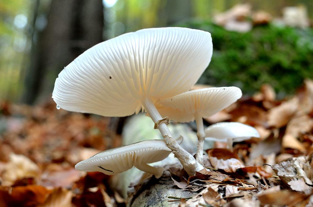 slizečka porcelánová - Oudemansiella mucida - foto: Karolína Turnovcová
