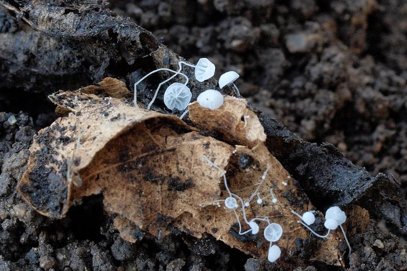 helmovka mnohobratrá – Mycena polyadelpha, Kuřim - foto: Jiřina Hrabáková
