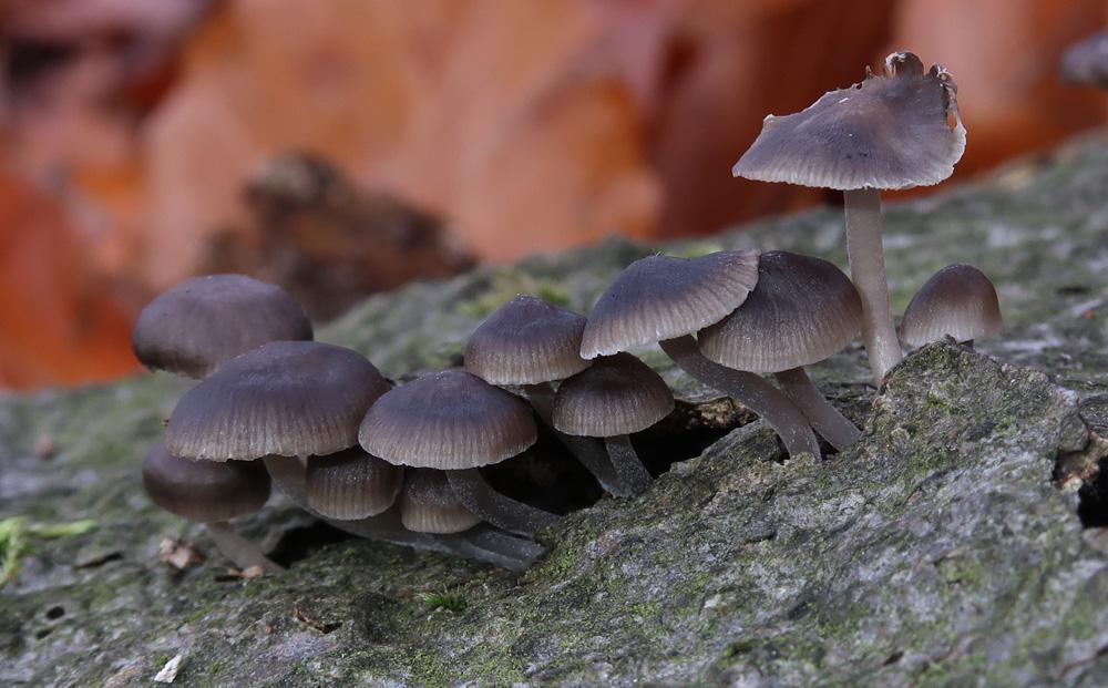 helmovka pařezová – Mycena tintinnabulum), Voděradské bučiny - foto: Markéta Vlčková
