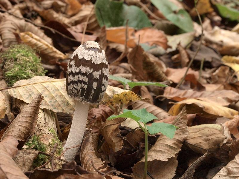 hnojník strakatý – Coprinopsis picacea, Blanensko - foto: Jiřina Hrabáková